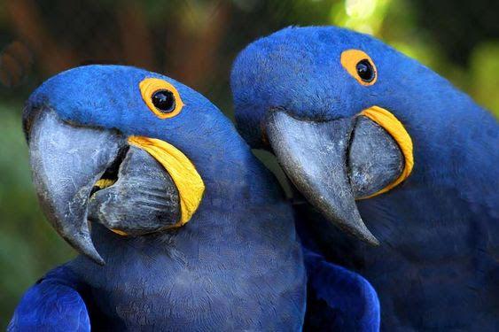 "Conheça as aves ""românticas"" do Brasil"
