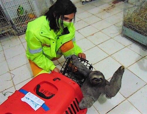 Bicho-preguiça é resgatado na Rodovia dos Bandeirantes