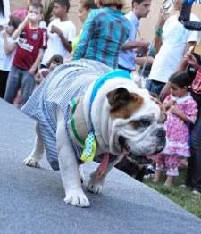 Bulldog Thor é eleito o cão caipira mais fashion durante II Festa Junina Canina