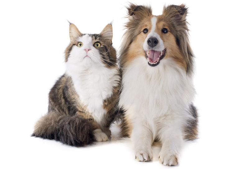 Afinal, cães e gatos podem contrair o Covid-19?