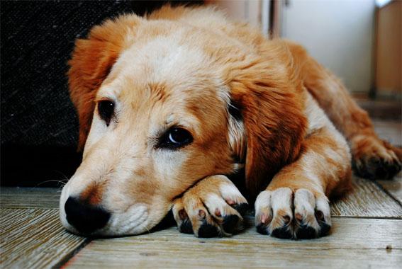 Cães e gatos podem contrair febre amarela?