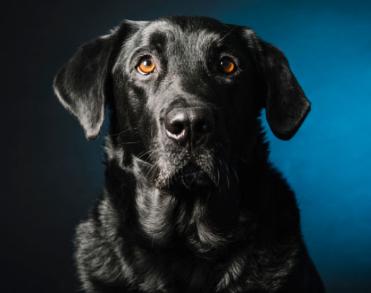 Cães idosos e acima do peso são mais propensos à osteoartrite