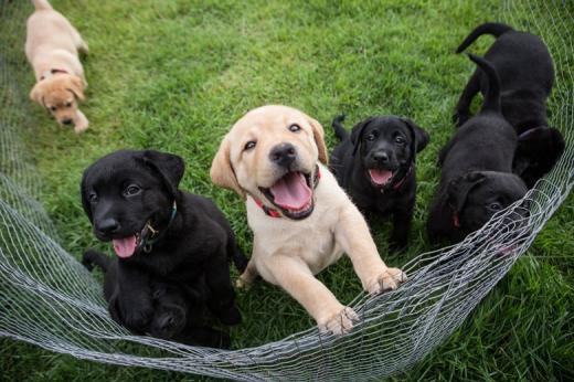 Escola de Cães Guia Helen Keller promove concurso para escolha de nomes de sete filhotes