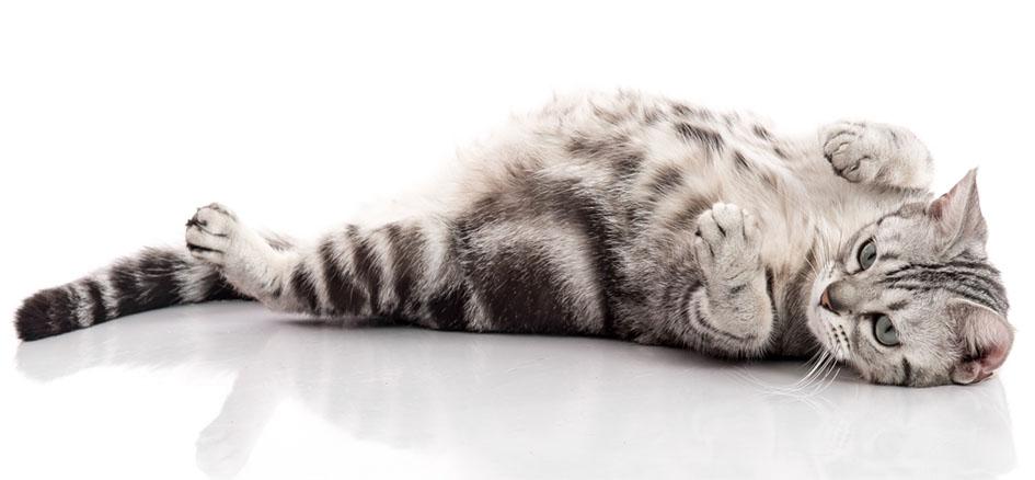 Cuidados pós-operatórios para gestação de gatos