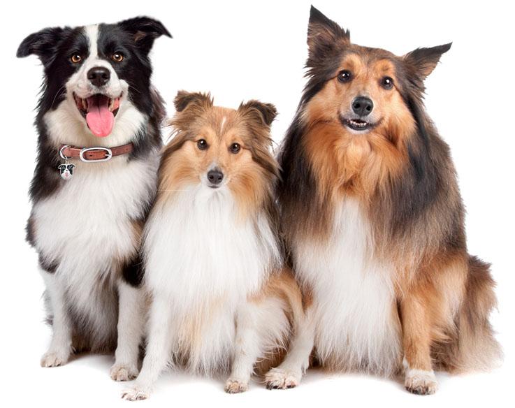 Cães de pastoreio invadem pet center neste fim de semana