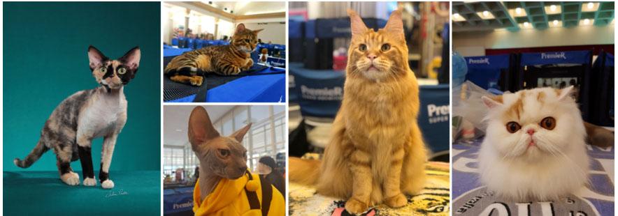 Av. Paulista recebe mais de 300 gatos em grando evento felino