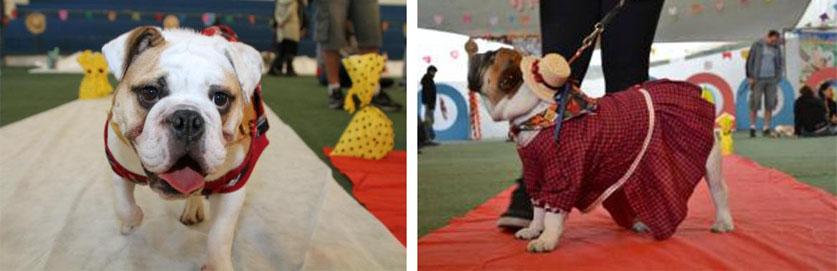 Festa Bullnina no Clube Pet Memorial tem aniversário surpresa e um disputado Concurso de Cão Caipira