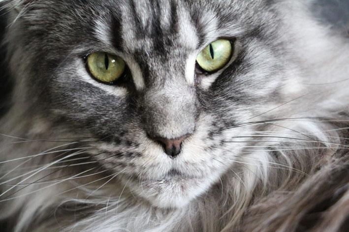 Maine coon, o gato bom companheiro