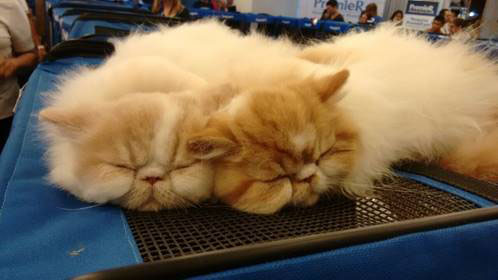 Cobasi Osasco promove mostra de gatos em parceria com a Premier