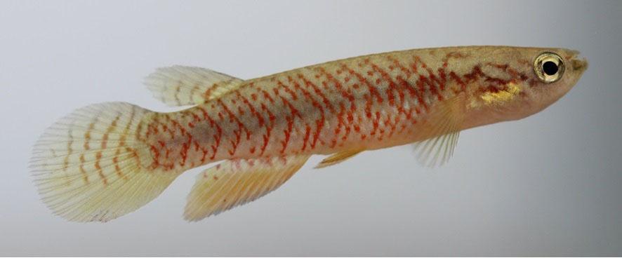Recém-descobertos, pequenos peixes estão em perigo