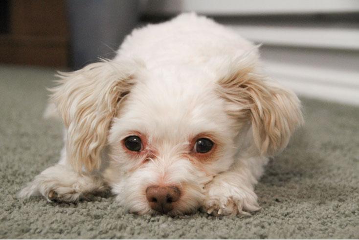 Como lidar com a mancha da lágrima em cães e gatos