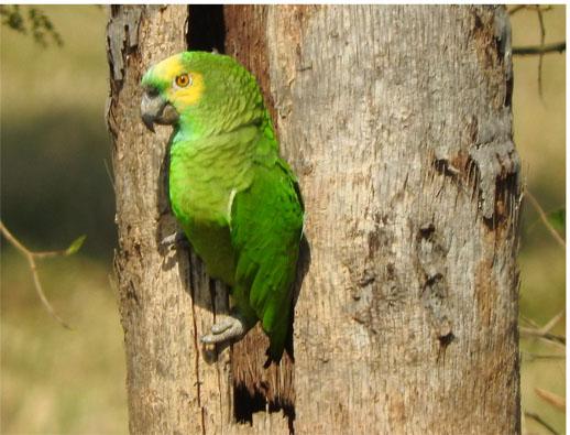 Venda ilegal de papagaios estimula prática que põe em risco a espécie