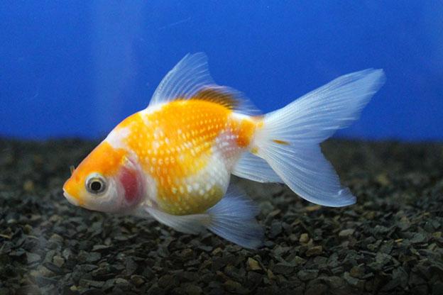 Pesquisa busca caracterizar cadeia produtiva de peixes ornamentais