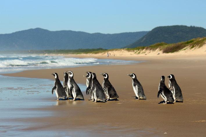 Petrobras: Projeto de Monitoramento de Praias resgatou mais de 2500 pinguins este ano