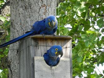 Sucesso nas ações de proteção do Projeto Arara Azul