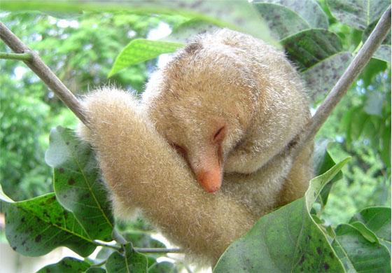 Seis novas espécies de tamanduaís são descobertas por pesquisadores brasileiros