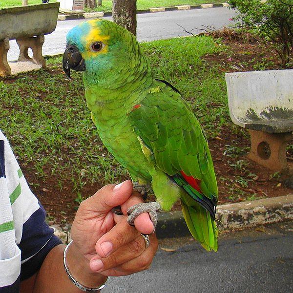 Papagaio Comum