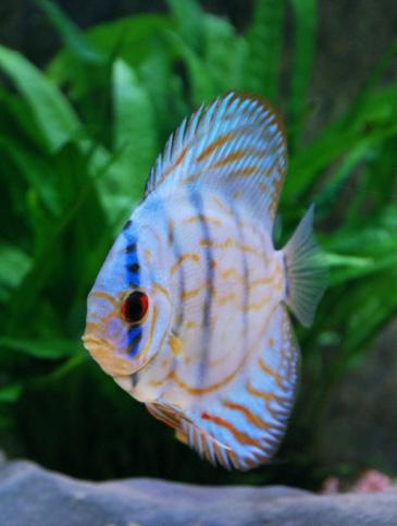 Aracá-Disco Azul