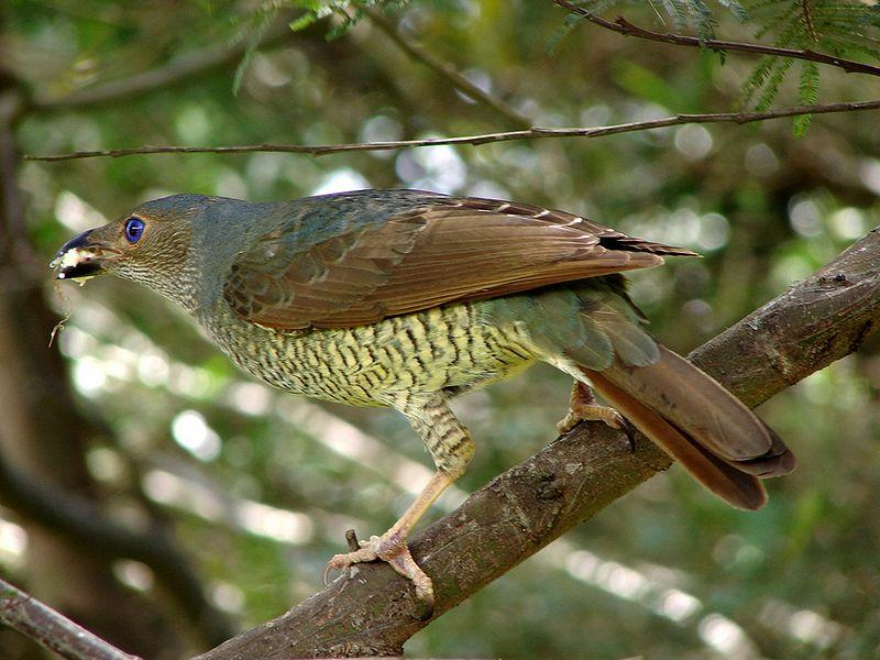 Pássaro-cetim