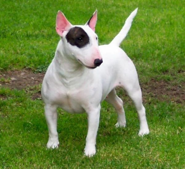 Bull Terrier (Miniatura)