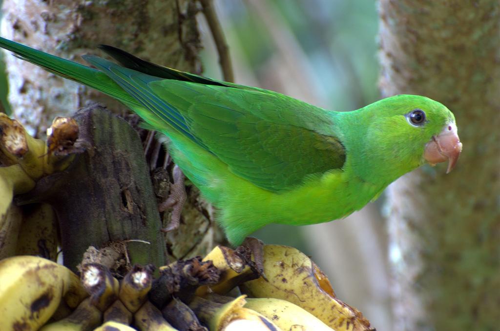 Periquito-Verde