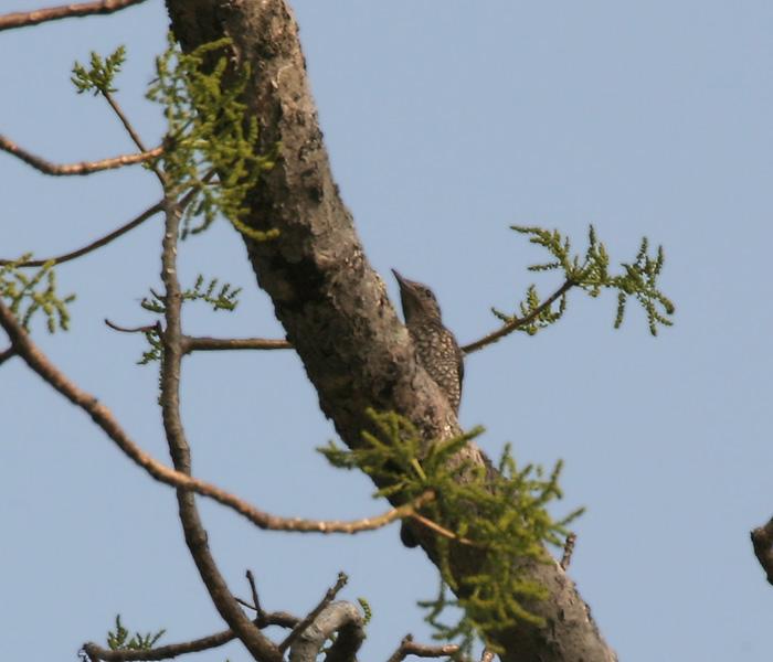 Monticola rufiventris