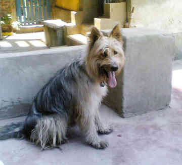 Egyptian Sheepdog/Armant