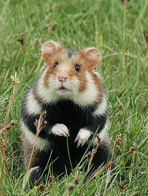 Hamster Europeu