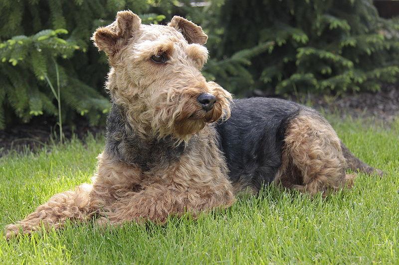 Terrier Galês