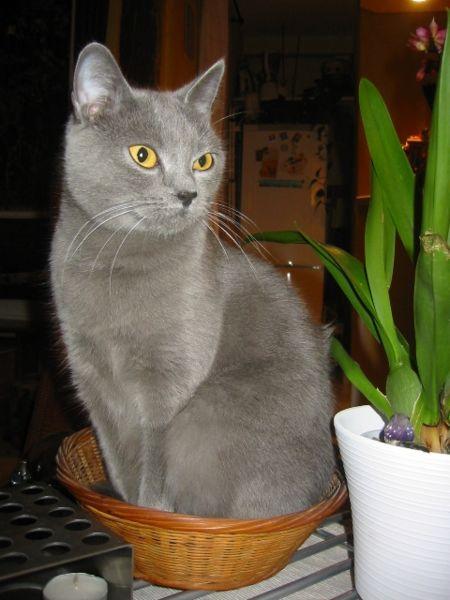 1e26c41b90959 O gato Chartreux, conhecido pelo seu sorriso enternecedor, é um gato  silencioso e discreto, menos falador que a maioria dos felinos, mas muito  ronronante, ...
