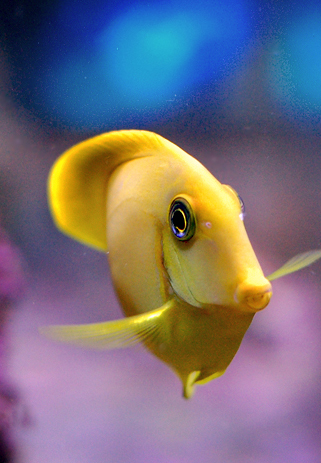 Yellow Mimic Tang